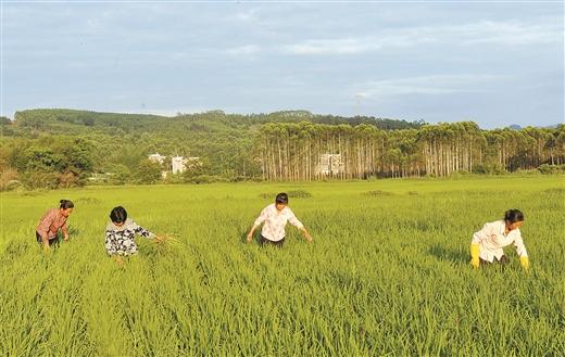 平桂區加強連片富硒水稻田管理