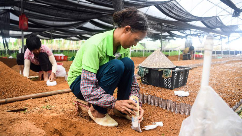 欽州:特色種植助力脫貧