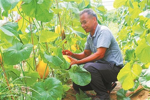 岑溪:香瓜種植成為脫貧産業之一