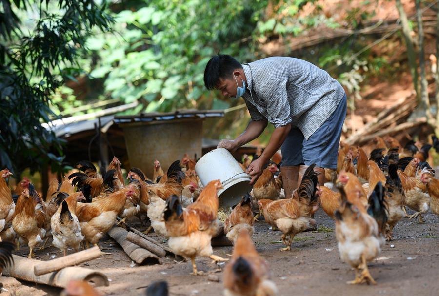 岑溪古典雞助脫貧