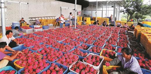 青秀區花雨湖生態休閒農業示范區火龍果喜獲豐收