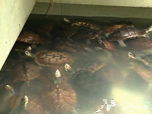 憑祥夏石鎮:龜鱉養殖助力脫貧攻堅