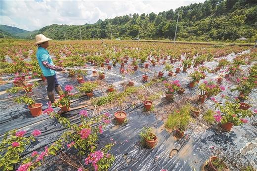 梧州著力打造龍華現代特色花卉苗木示范區