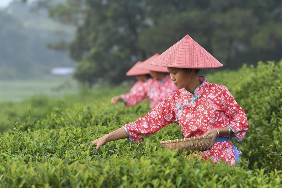 廣西興業:種植茶葉助增收