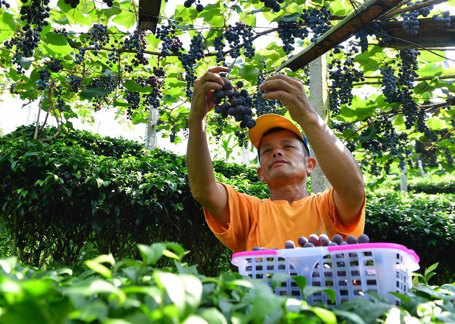 廣西三江:葡萄種植助侗寨脫貧