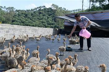 鴕鳥養殖走出脫貧致富新門路