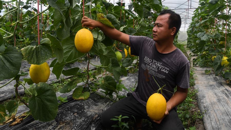 欽州:特色種植助脫貧促增收
