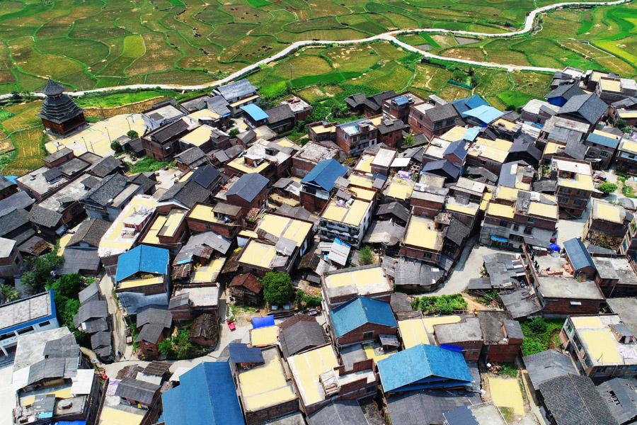 侗寨曬秋:滿村盡是黃金屋