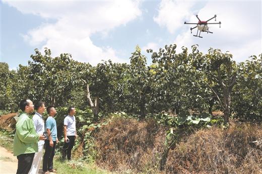 平樂縣引進無人機為月柿噴施農藥