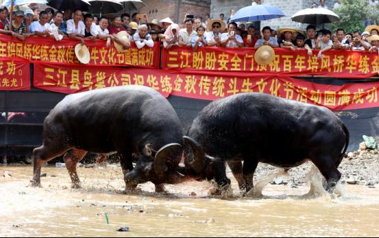 廣西三江:侗寨鬥牛鬧金秋 萬民歡聚慶豐收