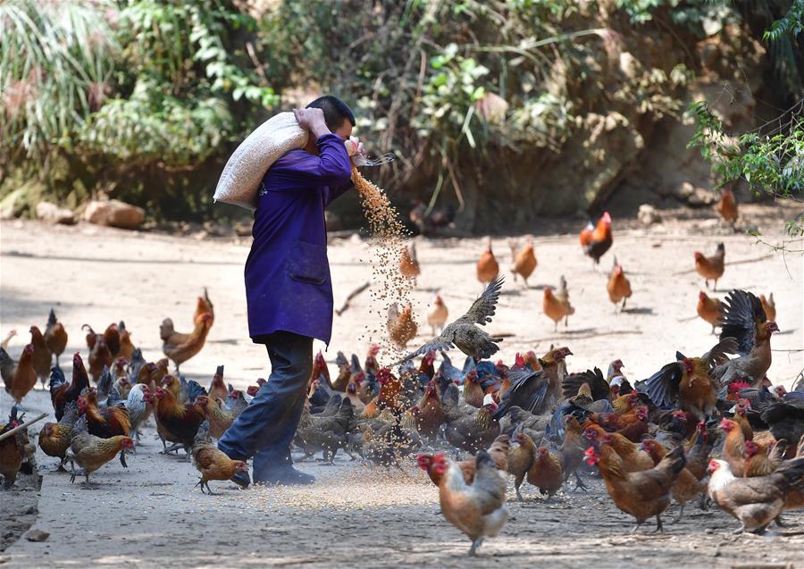 廣西融安:林下養雞助脫貧