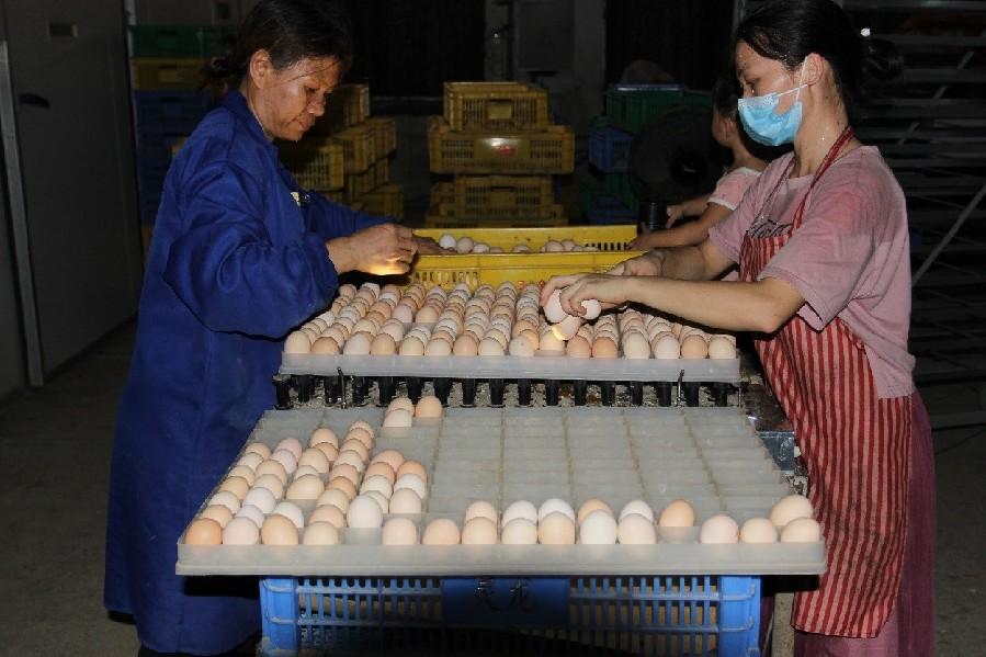 減稅降費政策助力陶圩鎮養雞産業發展