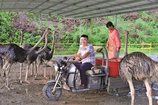 福綿:返鄉能人創建鴕鳥養殖基地