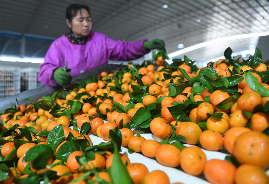 廣西武鳴:水果産業助脫貧