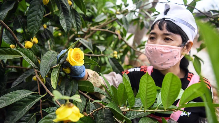 廣西合浦:金花茶飄香