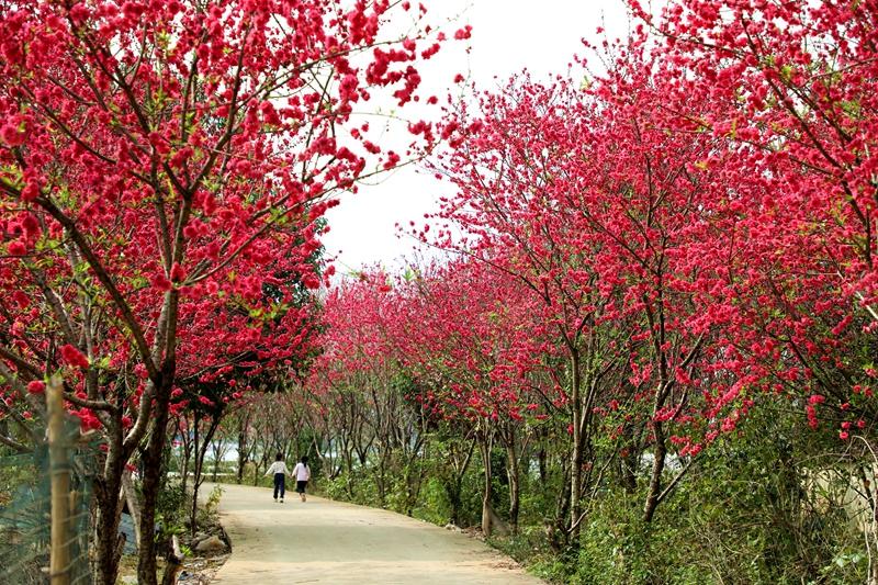 桃花朵朵開 春天(tian)步(bu)步(bu)來