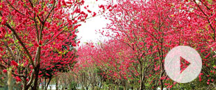 桃yi)hua)朵朵開 春天步步來