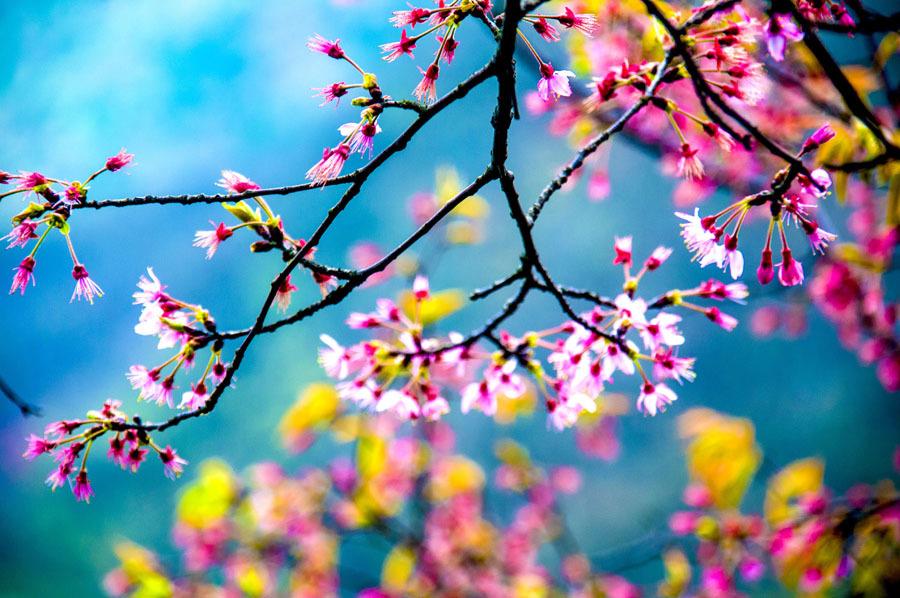 桂(gui)林︰野櫻盛放 山花爛漫