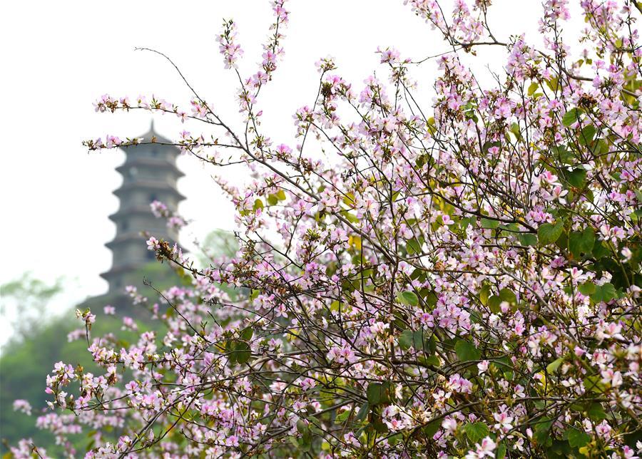 廣西柳(liu)州︰洋紫荊盛開 城市成花海