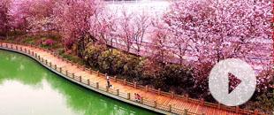 春風拂過(guo) 28萬(wan)株紫荊花盛開 街道瞬間變花海