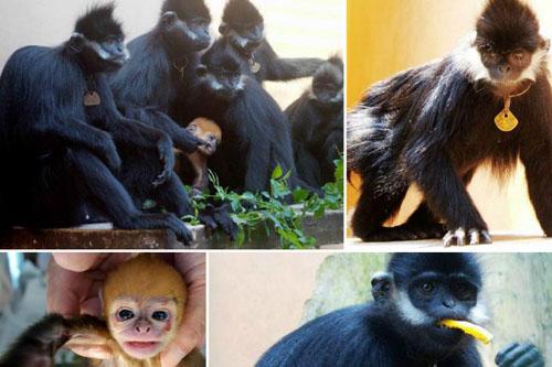 (高清)廣西梧州:近40年人工繁育黑葉猴300頭