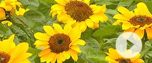 百畝向日葵花開似海踏春來