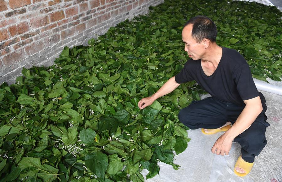 廣西環江:種桑養蠶助增收