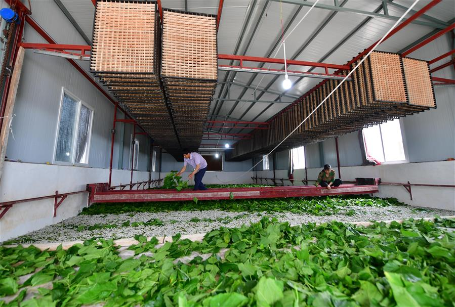 廣西鹿寨:桑蠶養殖助脫貧