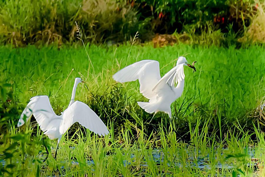 桂林︰白鷺起舞生態美