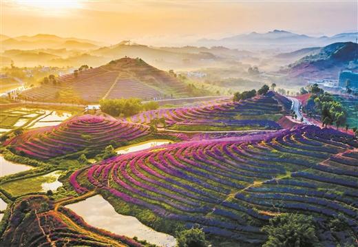 柳州:盛開的馬鞭草猶如紫色花海