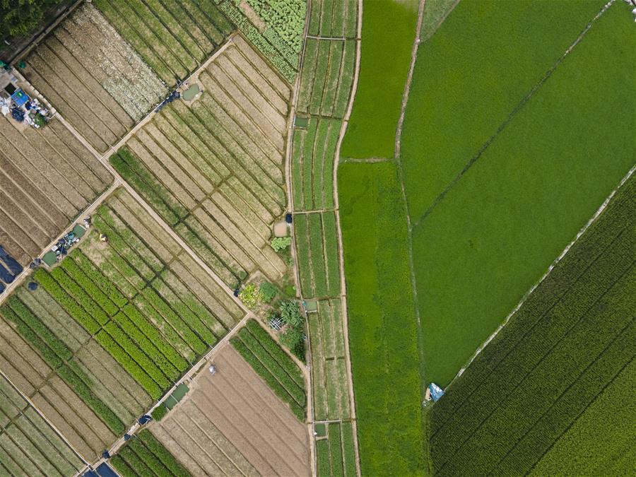 廣西南寧:夏至田園綠意濃
