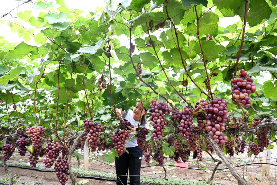 廣西柳州:脫貧村裏迎豐收