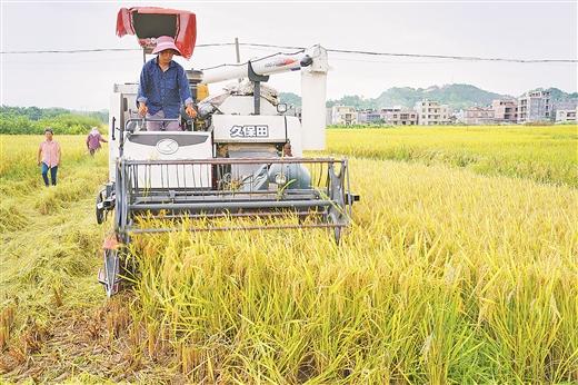 玉林市各水稻産區陸續開鐮收割