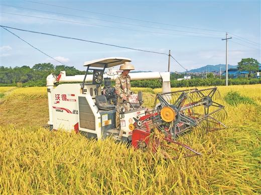 梧州市:早稻進入收割季