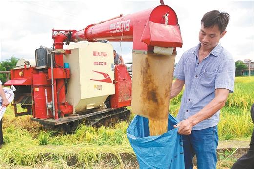 容縣羅江鎮種植優質水稻帶動貧困戶增收脫貧