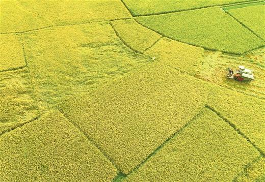 平樂:稻谷飄香收割忙