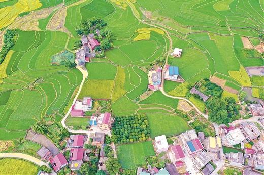 全州:雙色稻田交錯美如畫卷