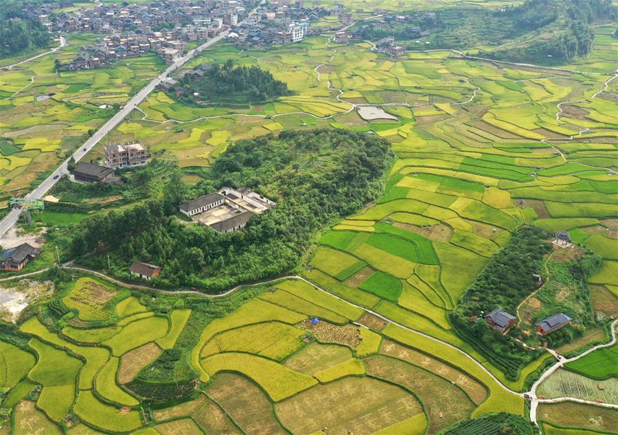 廣西三江:搶抓農時收早稻