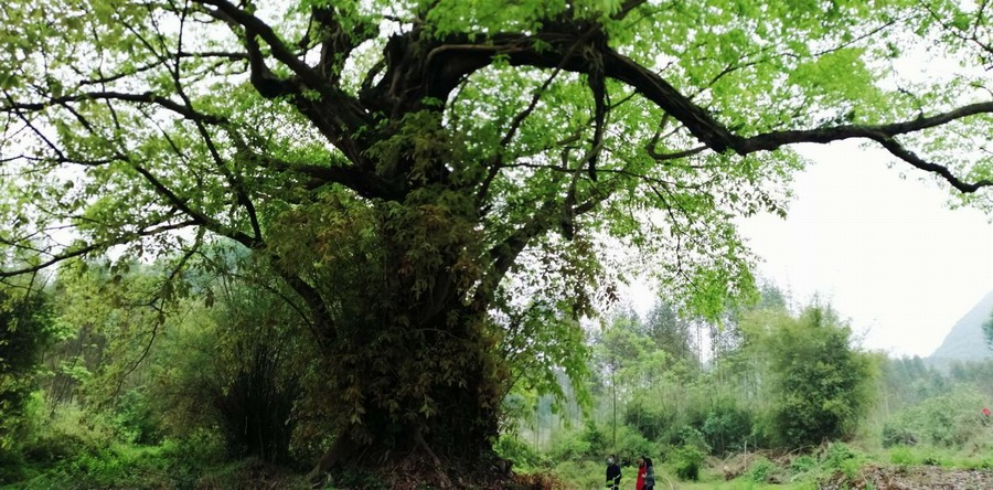 百年古榕樹群,見證時代變遷