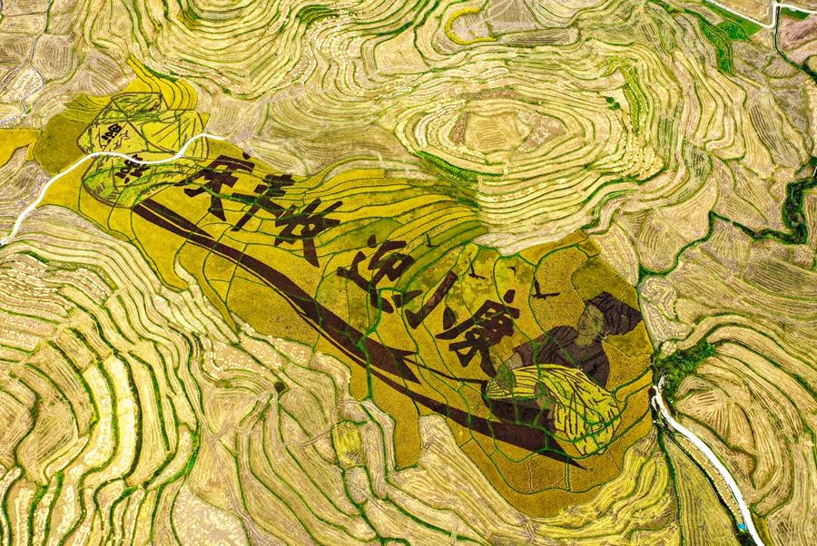 廣西南丹:4萬畝優質秋稻順利歸倉