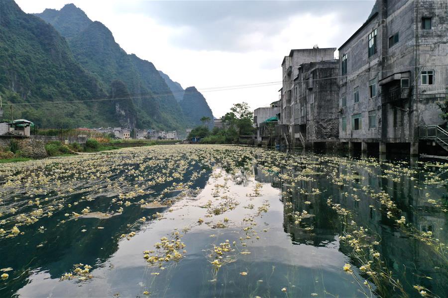 廣西都安:深秋時節花滿河