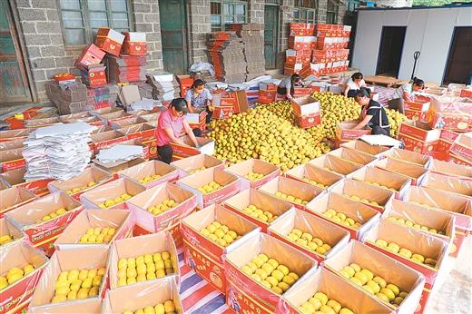 天峨縣向陽鎮周皇果場柿子豐收助農增收