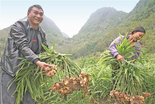 天峨縣公昌村大力發展肉姜種植促農增收