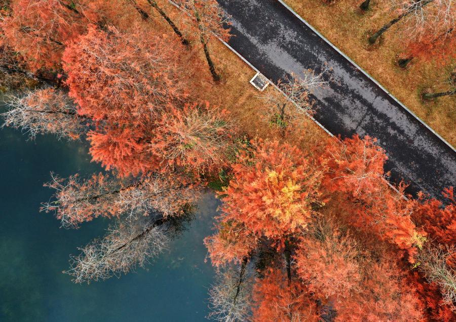 冬日杉樹紅裝俏