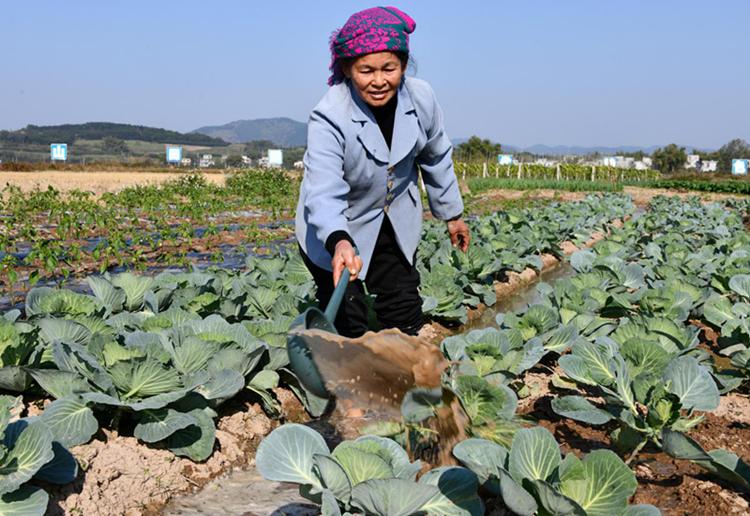 寧明:菜農搶抓農時發展冬種蔬菜生産
