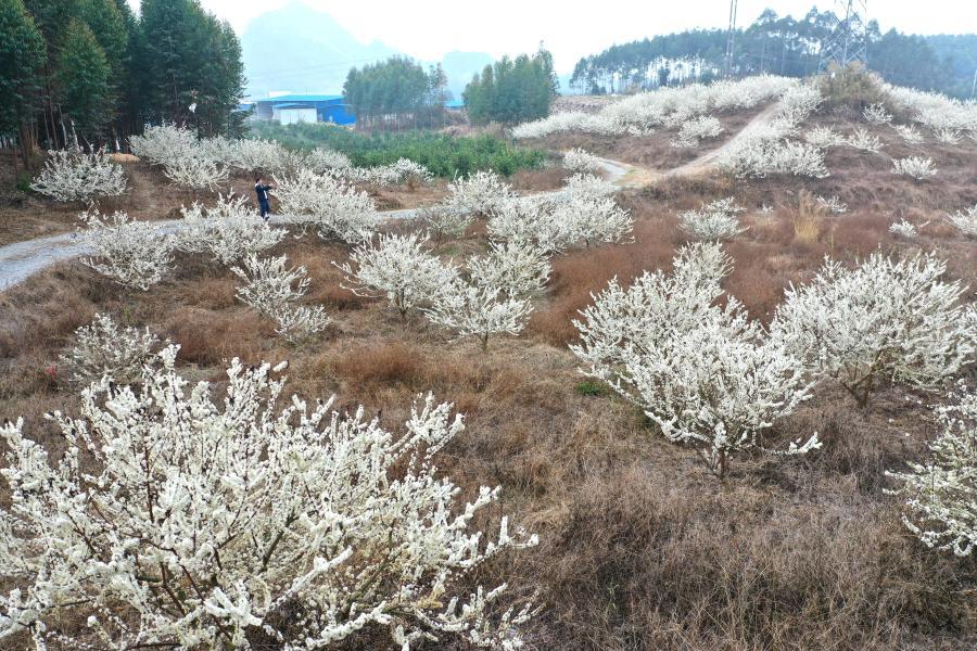 廣西大化:李子花開迎春來