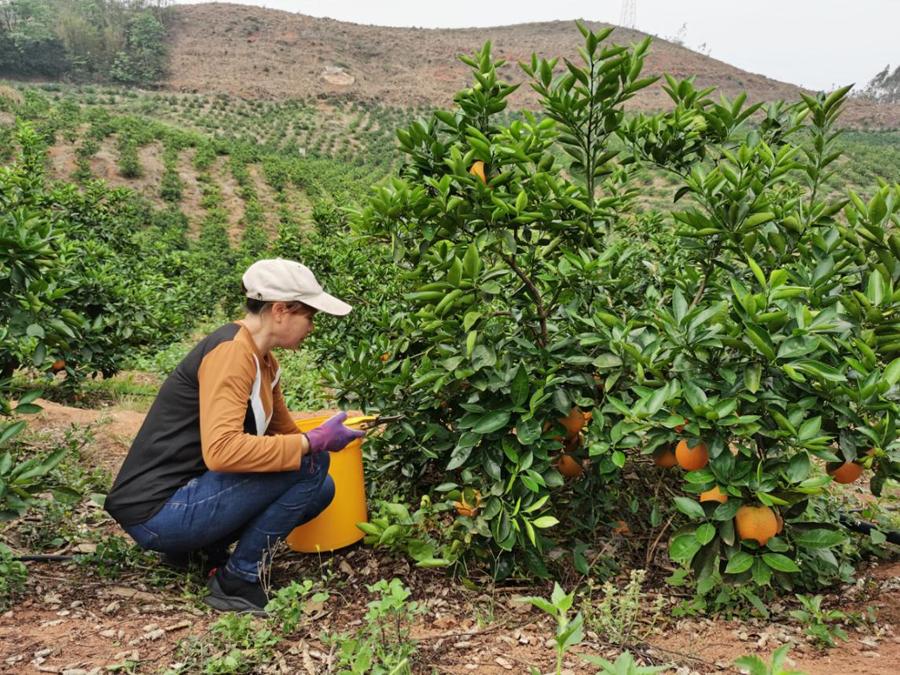 橫縣:金桂蜜春橙錯峰上市價錢好