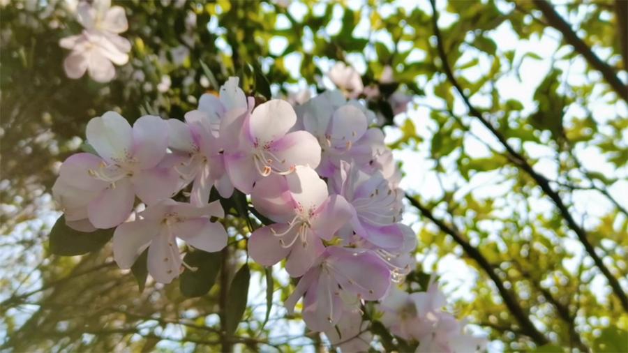 廣西武宣:杜鵑花盛放 山間春潮涌