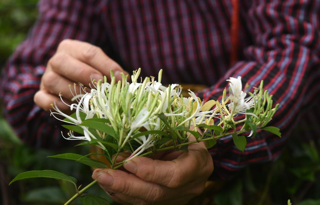 廣西馬山:金銀花産業助增收