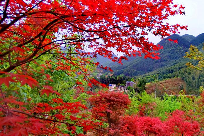 廣西全州:春季紅楓美如畫